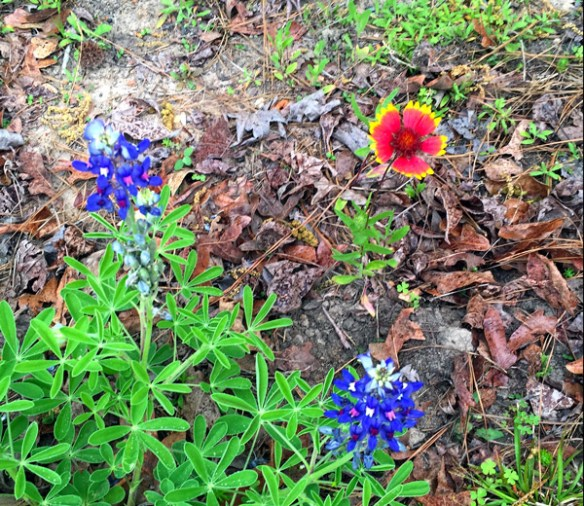 Texas Wildflowers Bluebonnets Indian Blankets