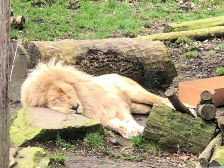 Paradise Wildlife Park Lion