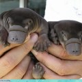 It's the platypus brothers