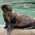 Sealion from Daily Squee