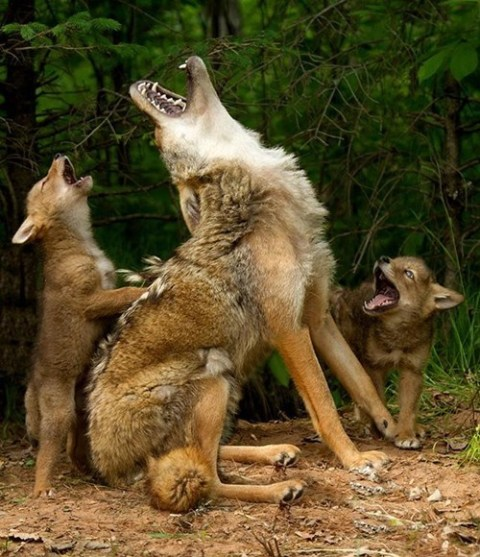 Howling Wolves via Daily Squee