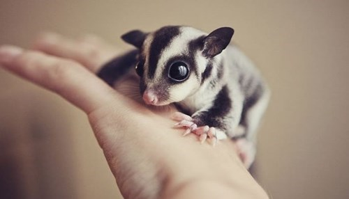 Such A Sweet Sugar Glider via Daily Squee
