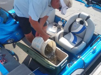 A fishermen loads fingerlings of Florida-strain largemouth bass into a cooler for release in Ross Barnett Reservoir.