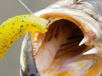 One advantage of rigging a soft-plastic jerkbait with a nose hook? Most fish are hooked solidly in the corner of the jaw.