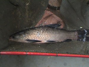 One of the large black carp used in laboratory experiments to estimate food consumption rate of black carp. A few of these fish can threaten the native mollusk fauna in a couple of miles of stream.