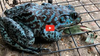Feeling blue — Louisiana man catches blue bullfrog