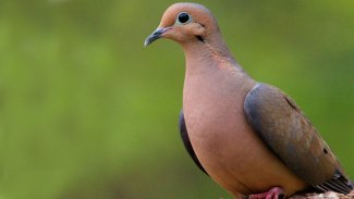 Hunters looking forward to third segment of dove season