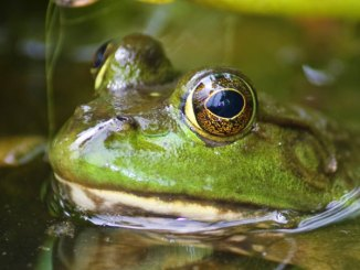 Mississippi frog hunters are allowed 25 frogs per night from April 1 through Sept. 30.