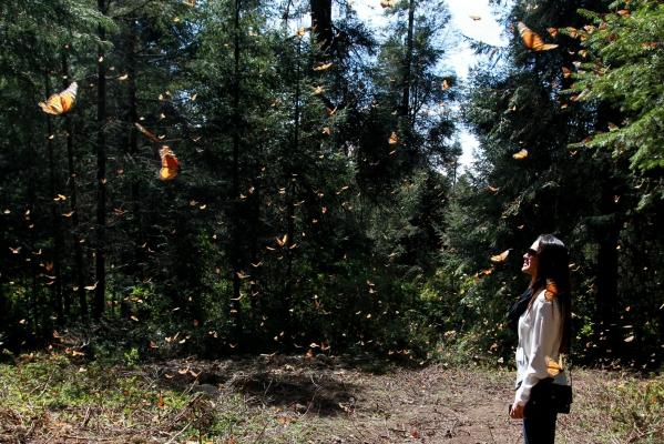 40208046. Ocampo, Mich.- Millones de mariposas monarca han permanecido desde noviembre en los santuarios de México, pero en esta última etapa de hibernación, se despegan de los árboles y vuelan por el bosque, preparándose para partir en marzo a la región de los grandes lagos de Norteamérica. NOTIMEX/FOTO/JESSICA ESPINOSA/JES/ENV/