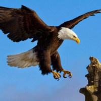 Aumenta número de parejas reproductivas de Águila Real