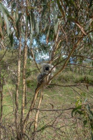 Ca y est j'ai trouvé MON eucalyptus