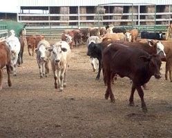 Handlarz zwierzętami gospodarskimi 19