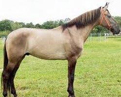 Koń bułany 25
