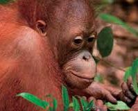 Orangutan 18