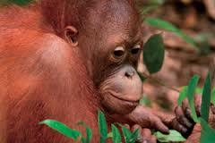 Znaczenie snu orangutan