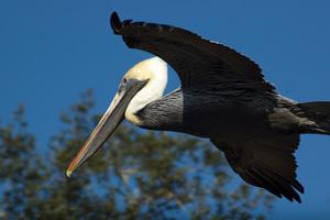 Znaczenie snu pelikan