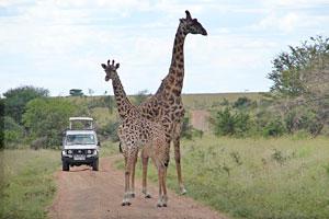 Znaczenie snu safari