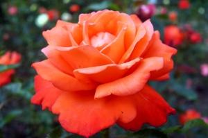 Sen o róży