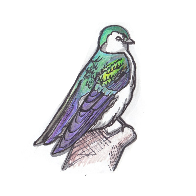 Green Violet Swallow