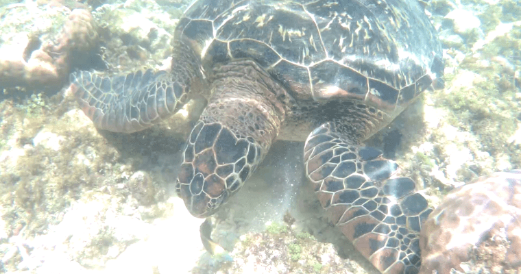 Saturdate with the sea turtles at APO Island, Philippines
