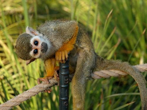 Cuddly Squirrel Monkey