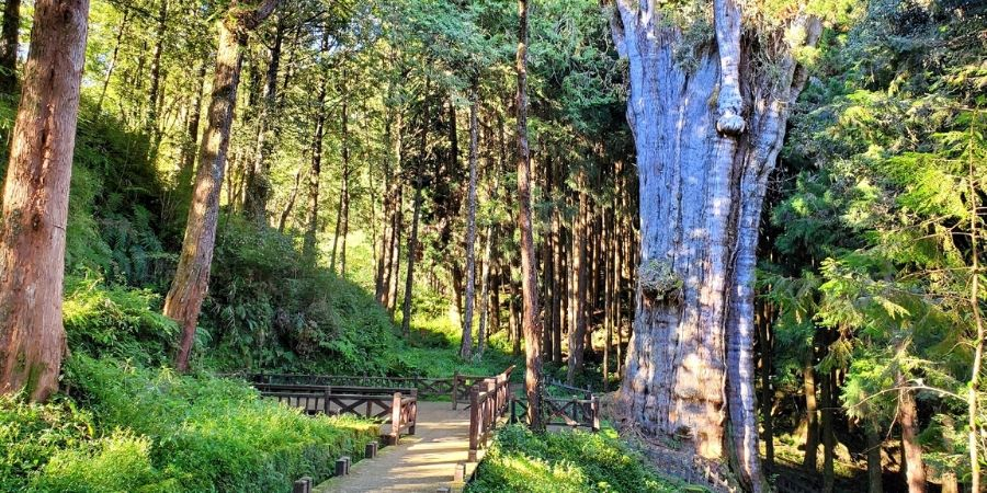The biggest giant tree of Shuishan is at the end of the Shuishan Trail.