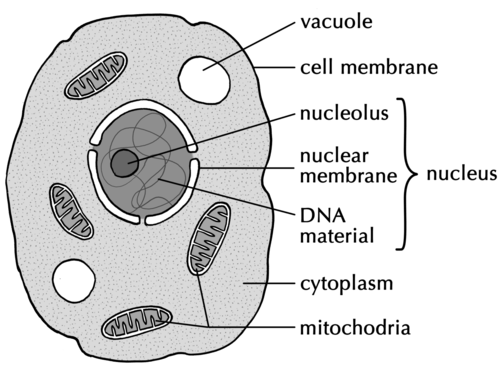 Mitochondria Chloroplast Diagram Unlabeled