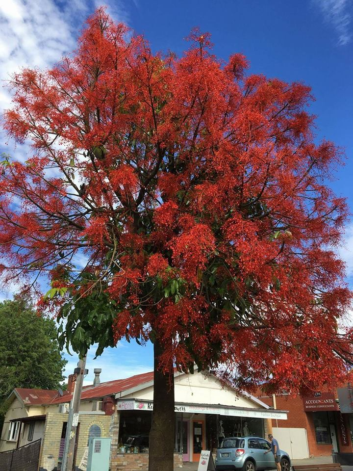 Flame Tree photo by Sue Rowe