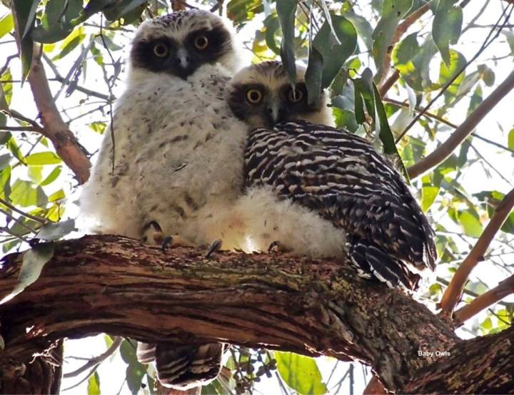 Baby Powerful Owls