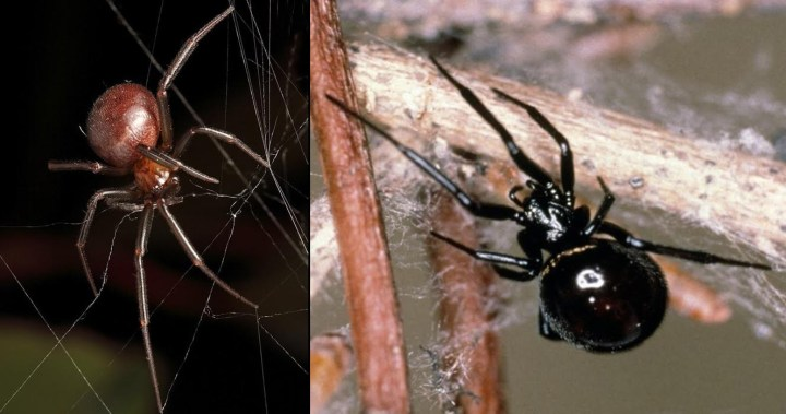 Spiders similar to the Red Back but not as toxic