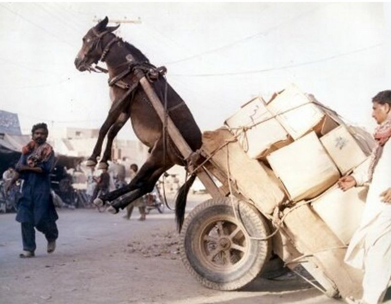 Image result for Donkey lifted up by cart