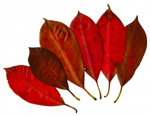red-leaves-300x232