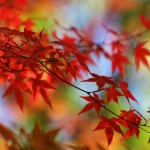 japanese red maple in autumn