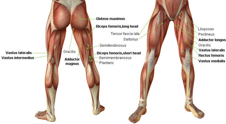 bacak kasları anatomi
