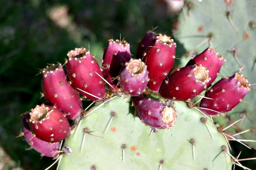 кактусовая груша