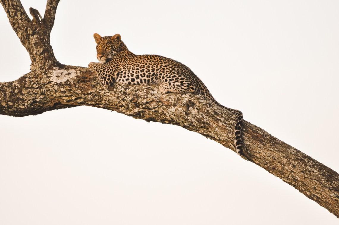 leopard seringeti national park