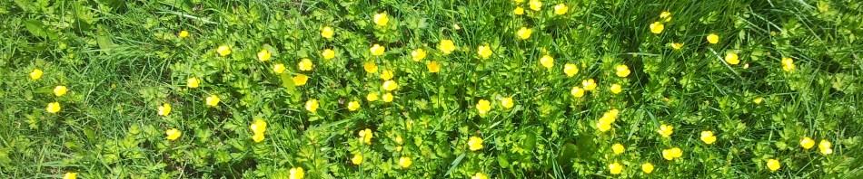 Summer-Header-Buttercups.jpg