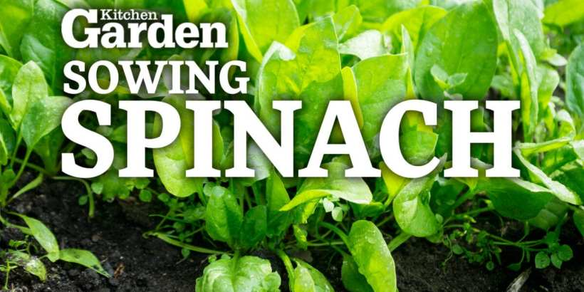 Sowing Spinach