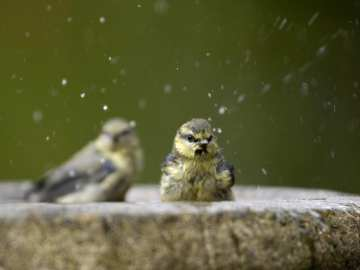 Blue tits taking a bath. Fresh water is essential for garden birds in summer