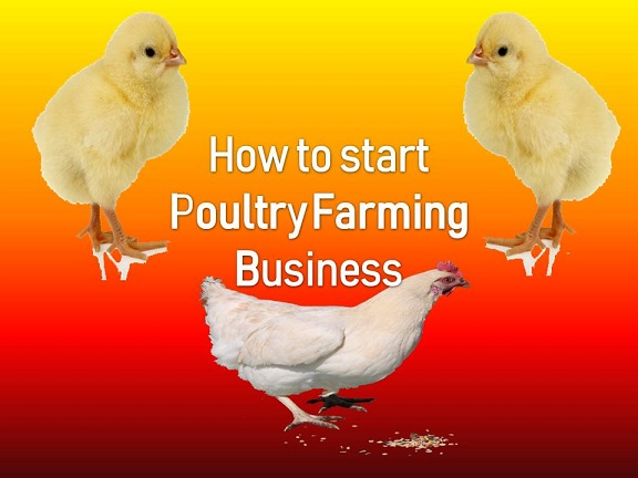 How to start poultry farming business