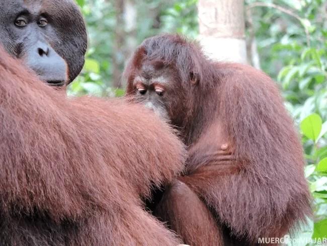 Impresionante como los orangutanes se percatan de todo lo que los rodea