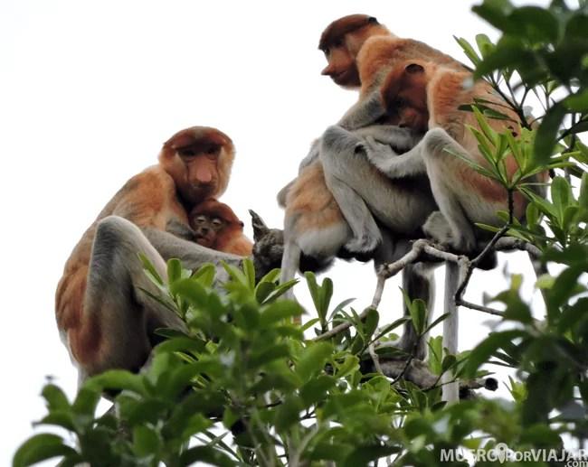 También pudimos ver Monos Narigudos en los arboles