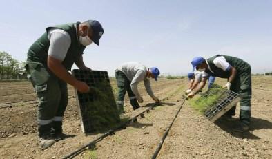 Aydın Büyükşehir Belediyesi çiftçilere dağıtılacak olan kuşkonmazların dikimini yaptı
