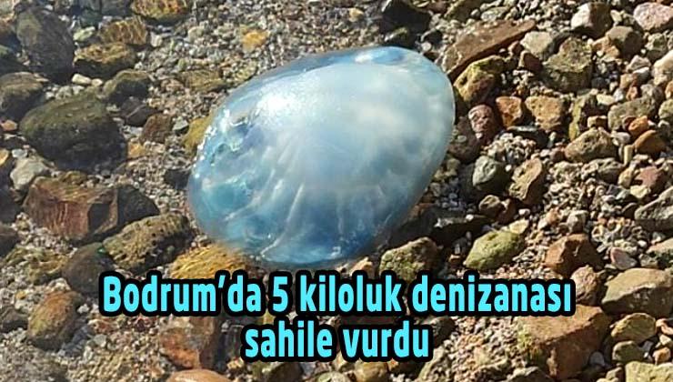 Bodrum'da 5 kiloluk denizanası sahile vurdu