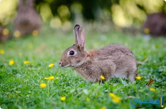 تفسير رؤية الأرنب في المنام موقع محتوى