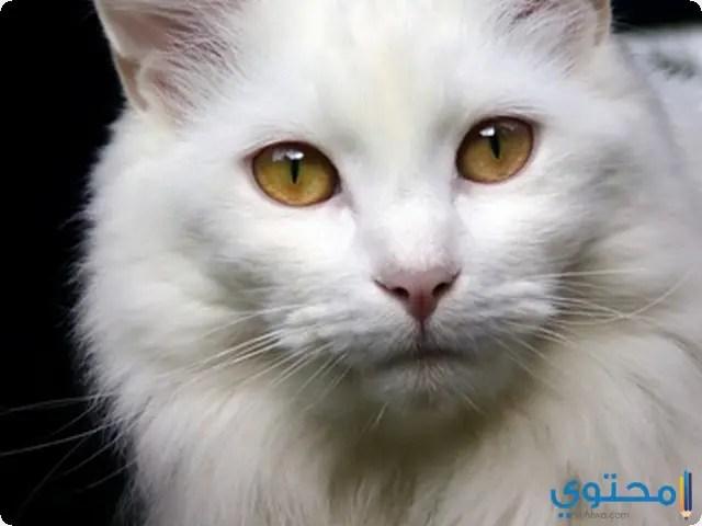 تفسير رؤية القطه في المنام لابن سيرين موقع محتوى