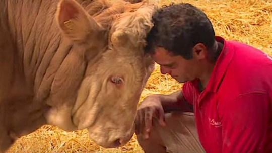 Este touro esteve preso toda a sua vida… Mas quando o soltaram… A sua reação vai tocar o teu coração!
