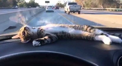 gato viajar em carro