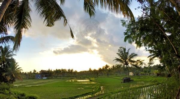Imagen de los campos de arroz de Ubud justo antes de anochecer.