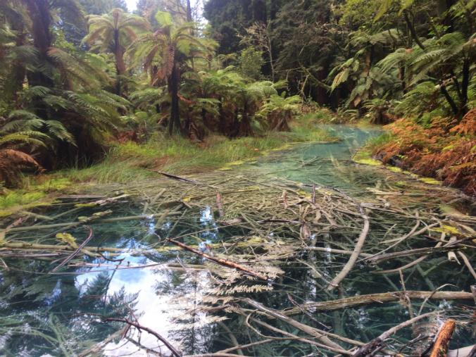 Bosque Reedwoods en Rotoura